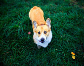 portrait of a cute red Corgi dog sitting on the green grass and loyally looking up on the master