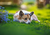 Corgi dog is lying in the garden in the grass with a bouquet of blue forget-me-nots flowers and is sad