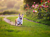 puppy dogs a red Corgi runs quickly along a green path in a summer blooming garden with his tongue hanging out on the green grass