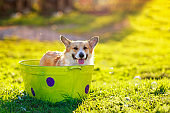 Corgi dog puppy with big wet ears sitting in a basin of soapy water on the grass in a Sunny summer garden