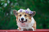 Corgi dog with big ears in a wreath of lilac flowers lying on a wooden table in a spring Sunny garden