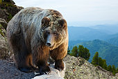 Adult bear on stone at mountains