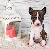 Basenji puppy dog and lantern with a candle
