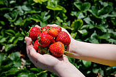 Holding strawberries in hand