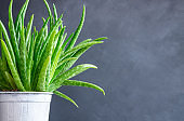 Live aloe vera plant in white flowerpot, natural organic cosmetic ingredients for sensitive skin, alternative medicine