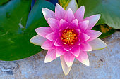 top view closeup on a bright pink lotus flower next to its green flat leaves.