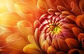 Colorful flower chrysanthemum macro shot. Chrysanthemum yellow, red, orange color flower background.
