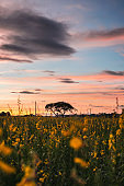 Sunset over Sunn hemp, Crotalaria juncea yellow blossom tropical plant with clouds on field