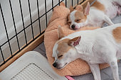 Two white brown Chihuahua puppy sleeping on pillow