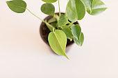 Green Baby Monstera Deliciosa 'Swiss Cheese Plant' Houseplant in a Terri Cotta Pot