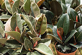 Variegated Rubber Plant 'Variegata' Ficus Elastica