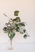 Large Flat-Leaf Eucalyptus