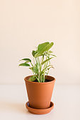 Green Baby Monstera Deliciosa 'Swiss Cheese Plant' Houseplant