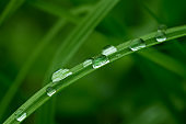 Green grass leaves after rain with drops of water close-up. Selective focus, natural background, texture.
