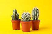 Cacti on yellow background