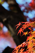 Autumn forest landscape with bright red maple leaves