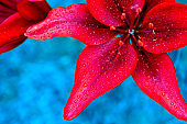 Natural floral background. Red lily close-up on a blue background.