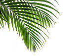 leaves of coconut and palm isolated on white background