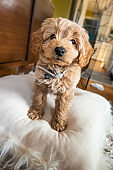 Miniature Golden Doodle Puppy Standing on a Pillow