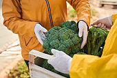 Two farmers gathering fresh green vegetables outdoors