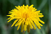 yellow dandelion flower close-up