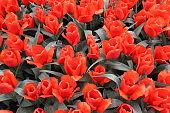 Scarlet red tulips. Flowering carpet of tulips. Background flowers. Keukenhof Park, the Netherlands.
