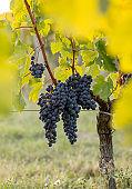 Ripe Merlot grapes lit by warm late sunshine, in vineyard. Saint Emilion, Gironde, Aquitaine. France