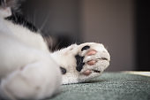 Closeup of a black and white cat's paw