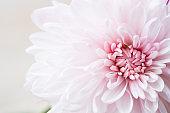 beautiful single chrysanthemum, top view, extreme macro image.