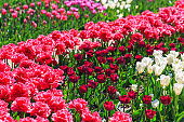 Closeup of pink tulips flowers with green leaves in the park outdoor. beautiful flowers in spring