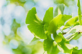 Ginkgo biloba green leaves on the tree. Ginkgo biloba tree leaves with sunbeams. healing. herbal medicine