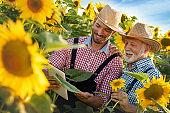 Framers team in sunflowers in field