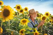 Farmer looking at sunflower seeds