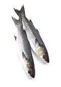 Mullet, chelon labrosus, Fresh Fishes against White Background