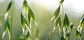 Close up view of green oats on the field.