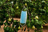 surgical mask hanging from a pear tree