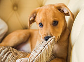 Golden cute puppy playing with pillow on couch