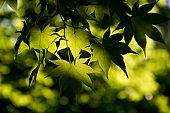 Fresh green maple leaf