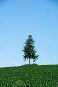 Pine tree standing in a green vegetable field with the blue sky