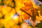 Maple tree forest in autumn
