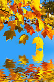 Autumnal yellow maple leaves, blue sky background and water reflections
