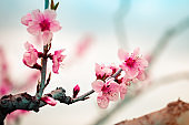 Pink flowers blooming peach tree at spring. Spring blooming, Abstract background. Banner. Selective focus.