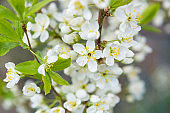 Cherry tree in blossom. Bird cherry closeup with selective focus