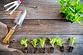 letucce seedlings sprouts with garden trowel orchard copy space on wood