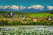 Hosman village with daffodils field and snowy mountains, Transylvania, Romania