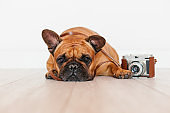cute brown french bulldog sitting on the floor. Using old vintage camera, Pets indoors, photography concept