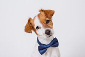 portrait of a cute young small white dog wearing a modern blue bowtie. White background. Pets indoors