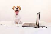 cute young small dog working on laptop at home and feeling tired, he is yawning. Bedroom. Indoors. Home. Pets and technology. white background