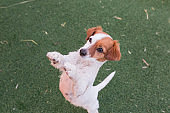 cute small dog asking for food or treats standing on two legs. Cute paws begging. Top view. Love for animals concept and lifestyle