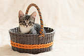 Cute gray tabby kitten sits in a wicker basket on a background of a cream fur plaid, copy space